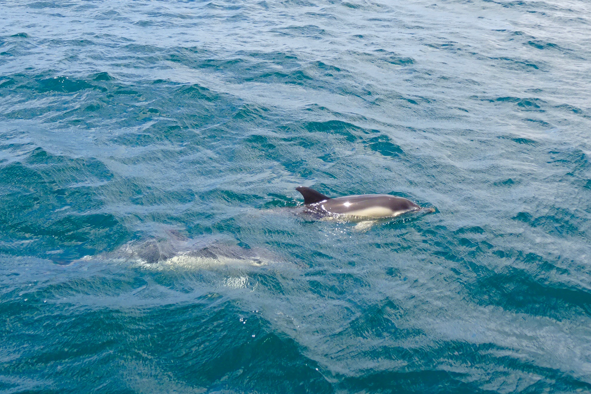 Dolphins in the Bay of Gibraltar
